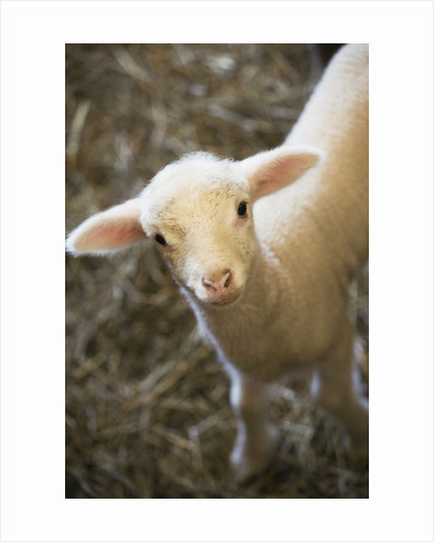 Baby lamb by Corbis