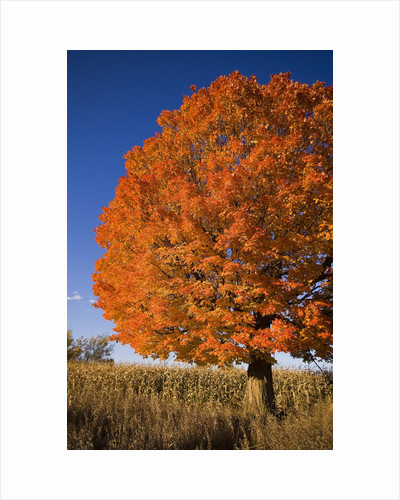 Maple Tree Beside Cornfield by Corbis
