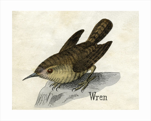 Wren Illustration by Corbis