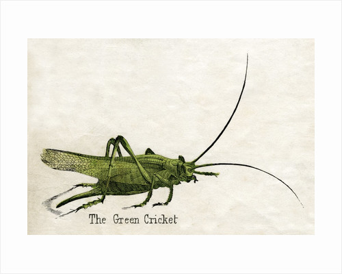 The Green Cricket Illustration by Corbis
