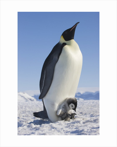 Emperor Penguin Holding Chick on Feet by Corbis