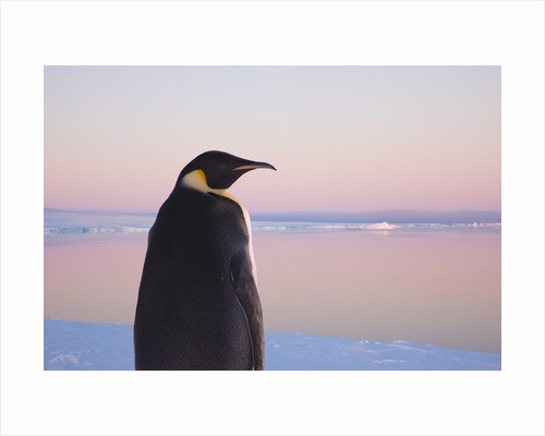 Emperor Penguin on Pack Ice by Corbis