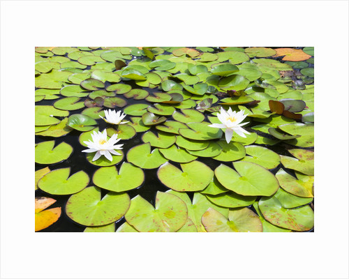 Water Lilies by Corbis