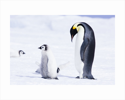 Emperor Penguin and Chick on Ice by Corbis
