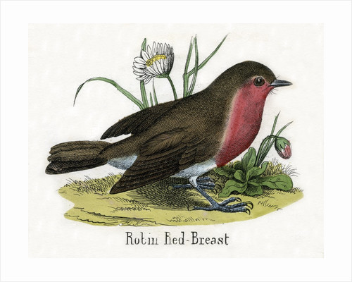 Robin Red-Breast Illustration by Corbis