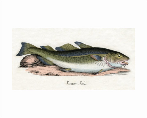 Common Cod Illustration by Corbis
