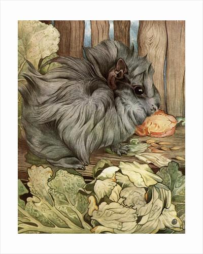 Illustration of Guinea Pig by Edward Julius Detmold