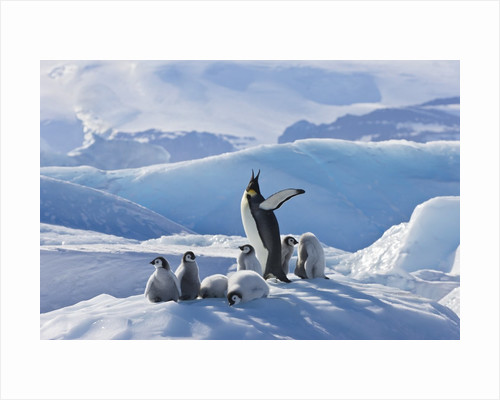 Emperor Penguin Parent and Chicks on Small Ice Mound by Corbis