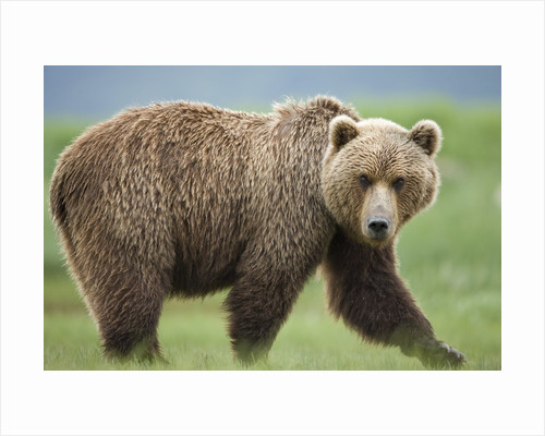 Grizzly Bear at Kukak Bay in Katmai National Park by Corbis