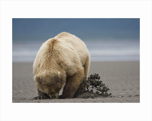 Grizzly Bear Digging Clams at Low Tide at Hallo Bay by Corbis
