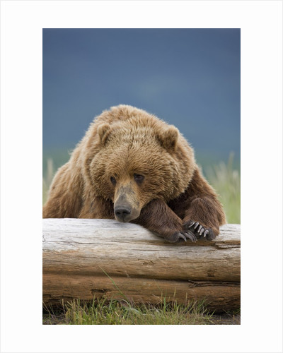 Grizzly Bear Resting on Log at Hallo Bay by Corbis