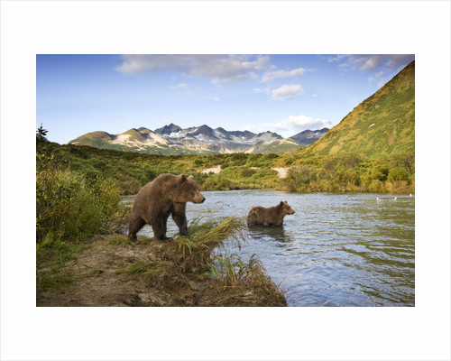Two Year Old Grizzly Bears on Riverbank at Kinak Bay by Corbis
