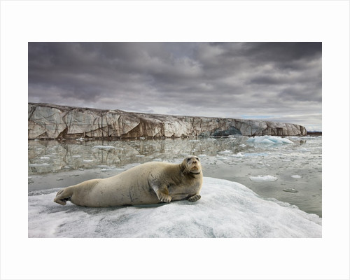 Bearded Seal on Iceberg in the Svalbard Islands by Corbis