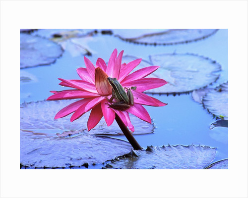 Frog on water lily in pond by Corbis