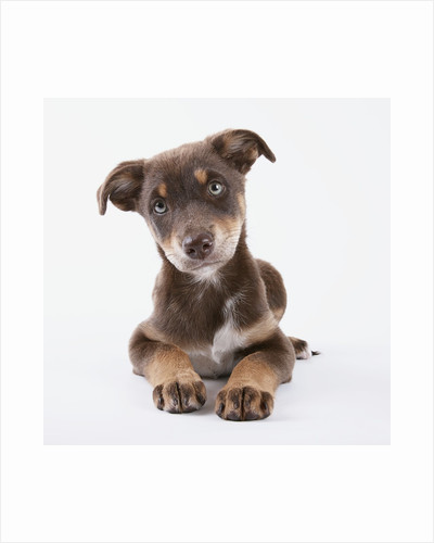 Innocent Puppy by Corbis