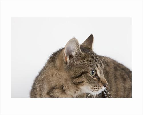 Curious Cat by Corbis