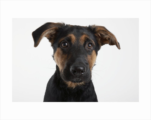 Dog Looking at Camera by Corbis