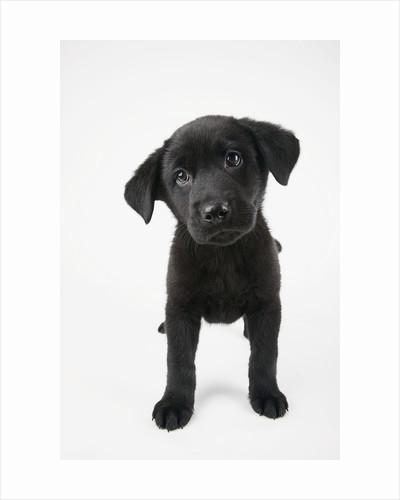 Cute Puppy by Corbis