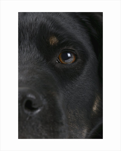 Dog's Eye and Nose by Corbis