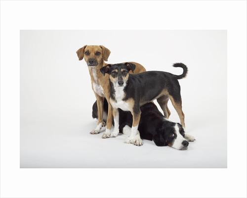 Three Dogs by Corbis