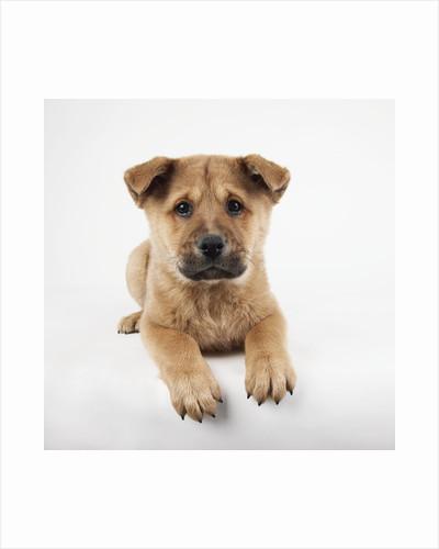 Reclining Puppy by Corbis