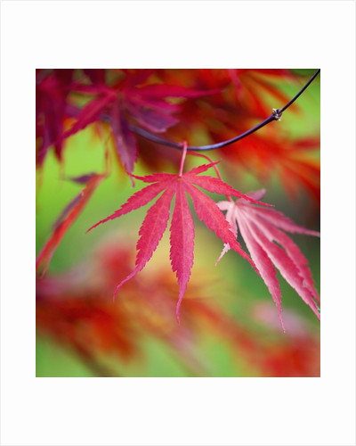 Japanese Maple Leaves by Corbis