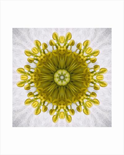 Kaleidoscope of Clematis flower by Corbis