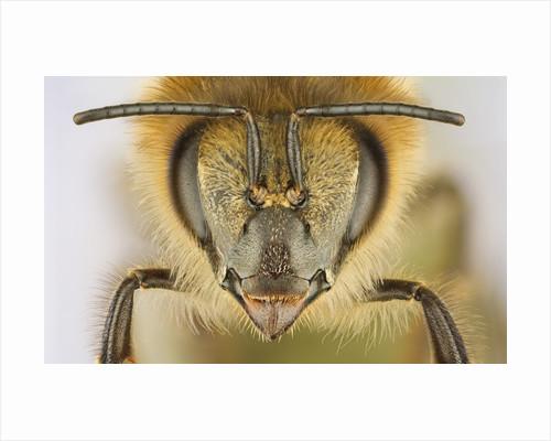 Close-up of honey bee by Corbis