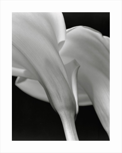 Close-up of Calla Lilies by Corbis