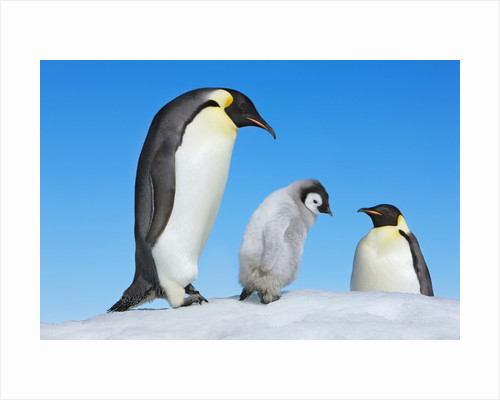 Emperor penguin parents with chick by Corbis