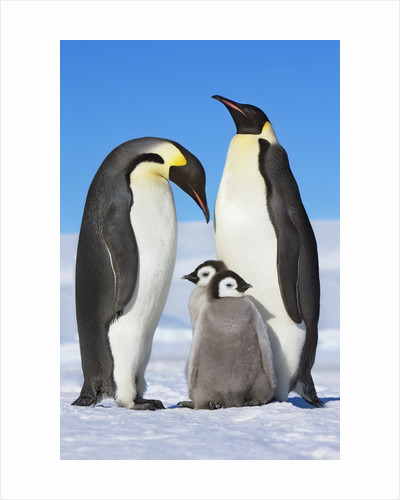 Emperor penguins with chicks by Corbis