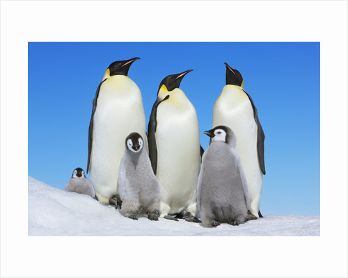 Emperor penguin with group with chicks by Corbis