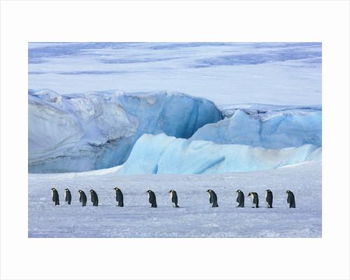 Emperor penguin group with iceberg by Corbis