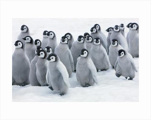 Emperor penguin chicks by Corbis