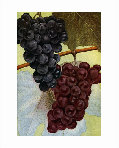 Illustration of grapes by Corbis