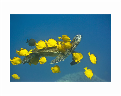 Green sea turtle with passengers by Corbis
