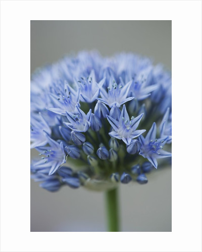 Allium flower by Corbis