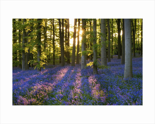 Bluebell wood at Coton Manor by Corbis