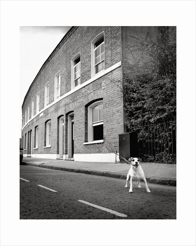 Jack Russell Terrier Standing near Curb by Corbis