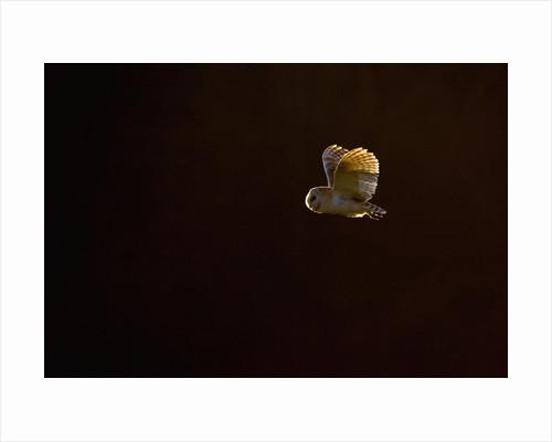 Adult Barn Owl in Flight by Corbis