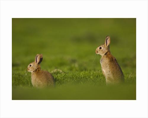 Alert Adult Rabbits by Corbis