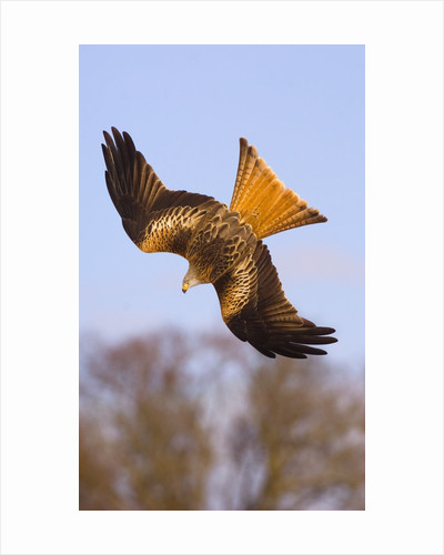 Red Kite in flight by Corbis