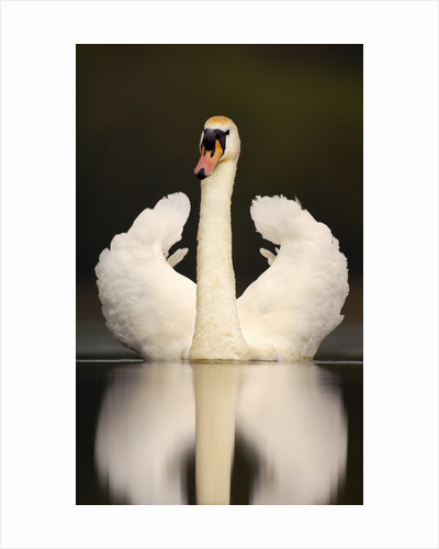 Adult Mute Swan in Threat Posture by Corbis