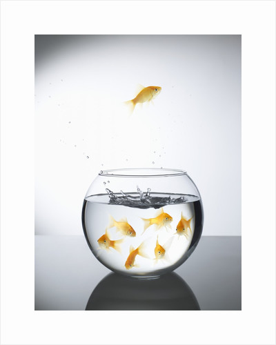 Goldfish jumping out of a bowl and escaping from the crowd by Corbis
