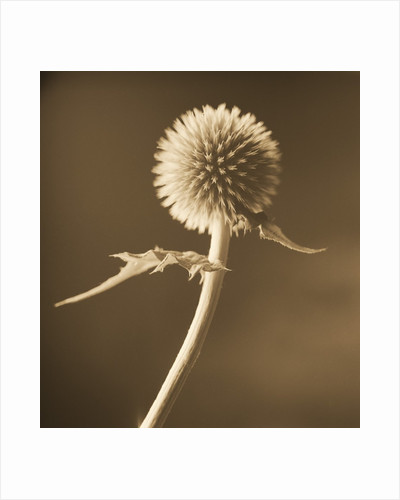 A Lone Thistle Against the Sky by Tom Marks