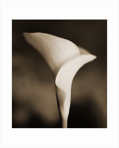 Calla Lily by Tom Marks
