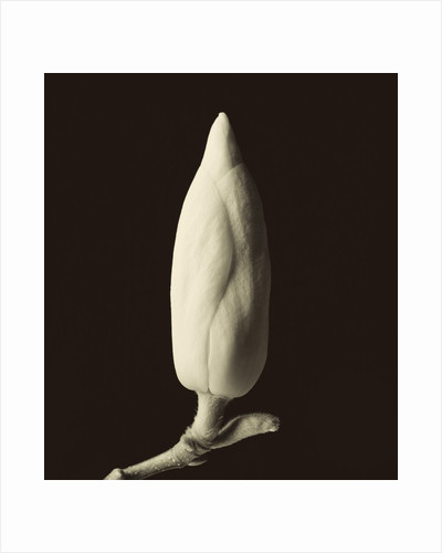 Single Magnolia Bud in Spring by Tom Marks