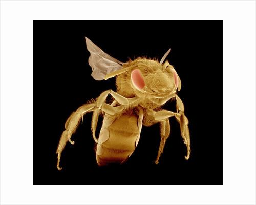 Bee by Corbis
