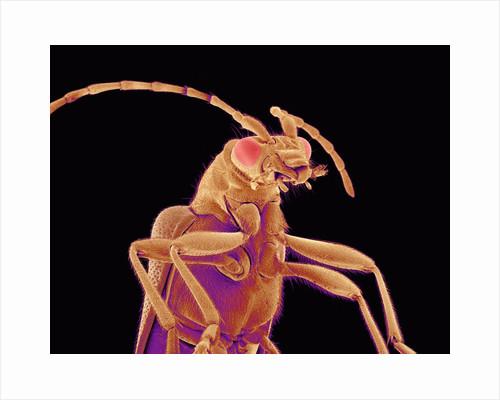 Long-horned beetle by Corbis