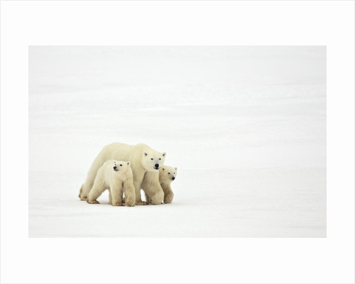 Mother and Cubs Walking by Corbis